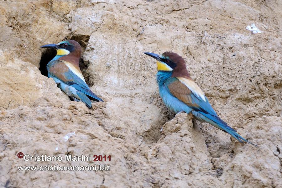 20110526_038_gruccione