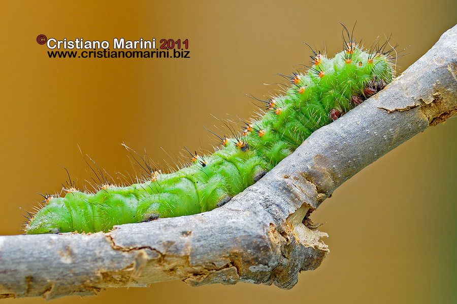 20110618saturnia.pavoniella