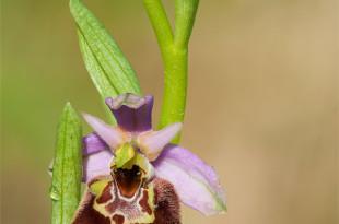 ophrys holosericea