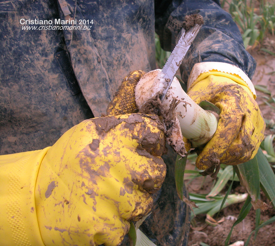 Pulizia dei porri dopo la raccolta in pieno campo