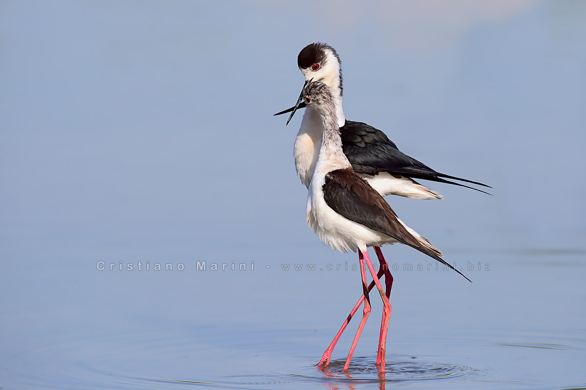 Cavaliere d'Italia - Black winged stilt
