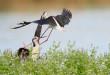Cavaliere d'Italia - Black winged stilt