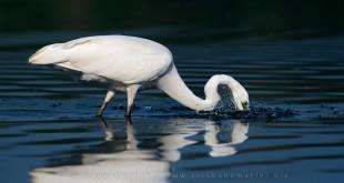 Ardea alba - airone bianco maggiore - Great Egret