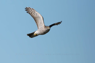Sparviero - Sparrowhawk - accipiter nisus