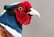 fagiano - Phasianidae - Pheasant