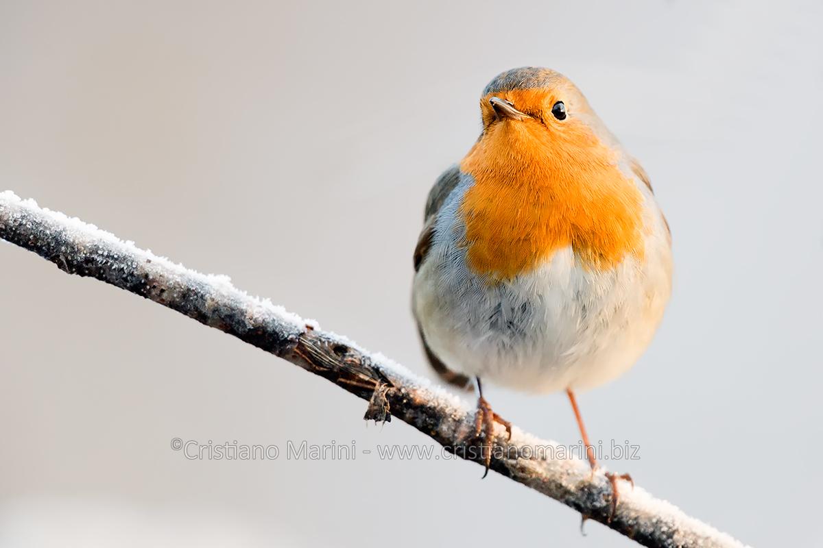Pettirosso - Robin - Erithacus rubecula