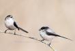 Codibugnolo - Long-tailed Tit - Aegithalos caudatus