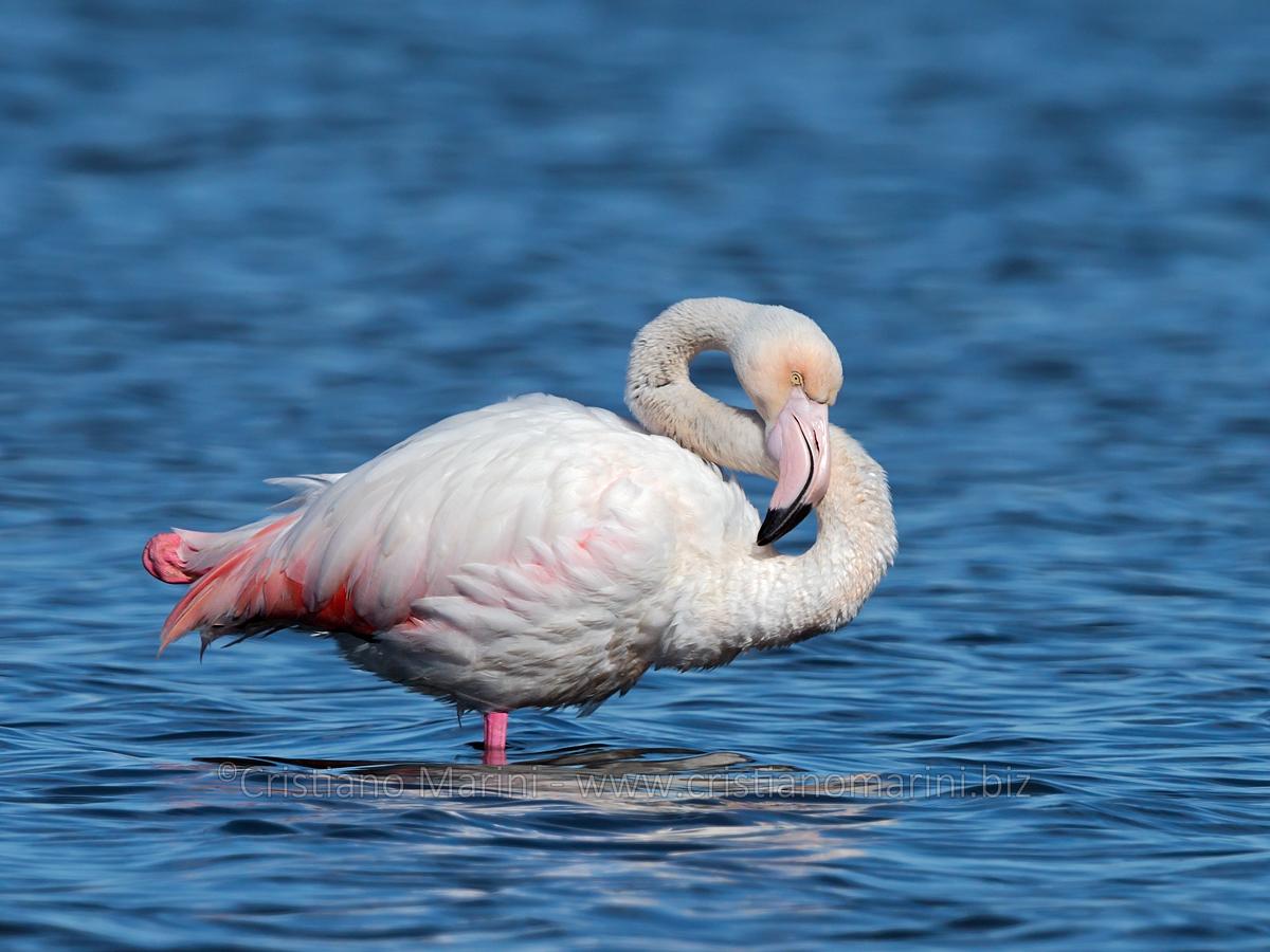 Fenicottero - Phoenicopterus - Flamingo