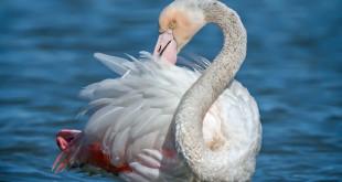 Fenicottero - Phoenicopterus – Flamingo