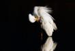 Airone bianco maggiore - Ardea alba - Great Egret