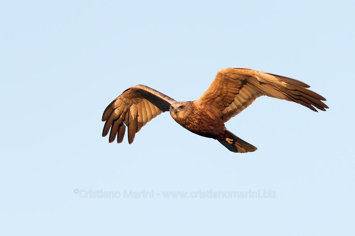 falco di palude - circus aeruginosus - Marsh Harrier