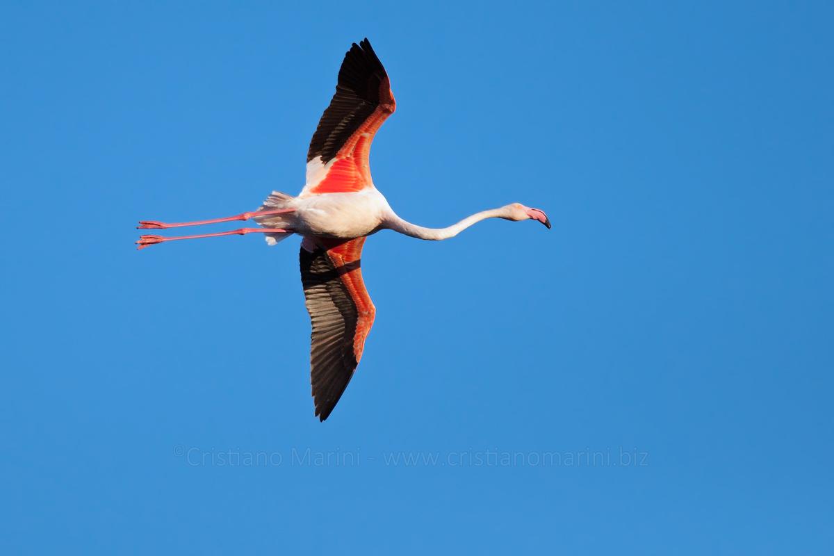 Fenicotteri – Phoenicopterus – Flamingo
