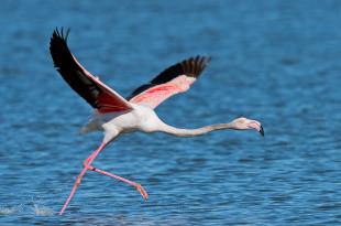 fenicottero - flamingo