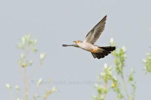 Cuculo - Cuculus canorus - Cuckoo