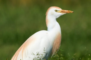 Airone guardabuoi - Cattle Egret - Bubulcus ibis