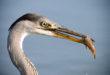 airone cenerino - grey heron - ardea cinerea