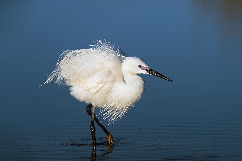 Garzetta - Little egret - egretta garzetta
