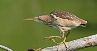 arabusino – Ixobrychus minutus – Little Bittern