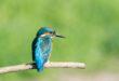 Alcedo atthis - Martin pescatore - Kingfisher