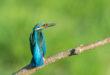 Martin pescatore - Alcedo atthis - Kingfisher