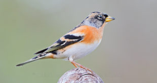 peppola - Brambling