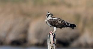 Osprey - falco pescatore Oasi WWF Lago di Burano (Gr)